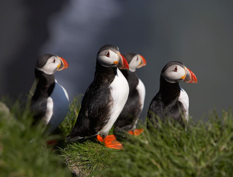 Reasons to Visit Iceland: Puffins