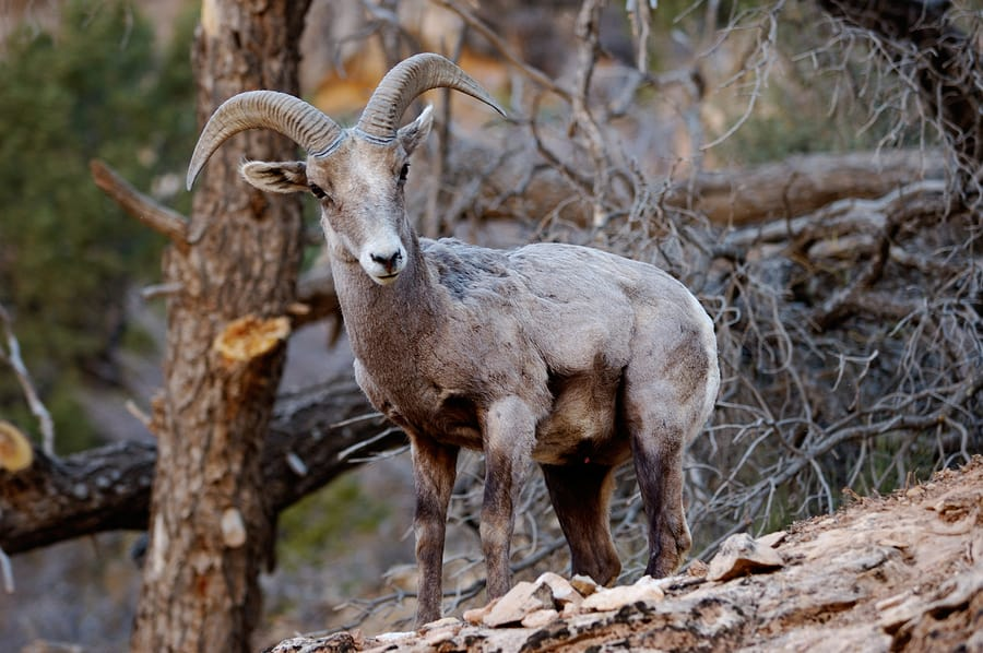 Grand Canyon Fun Facts: You may see bighorn sheep, bison and elk at the Grand Canyon, but only the bighorn sheep are natives.