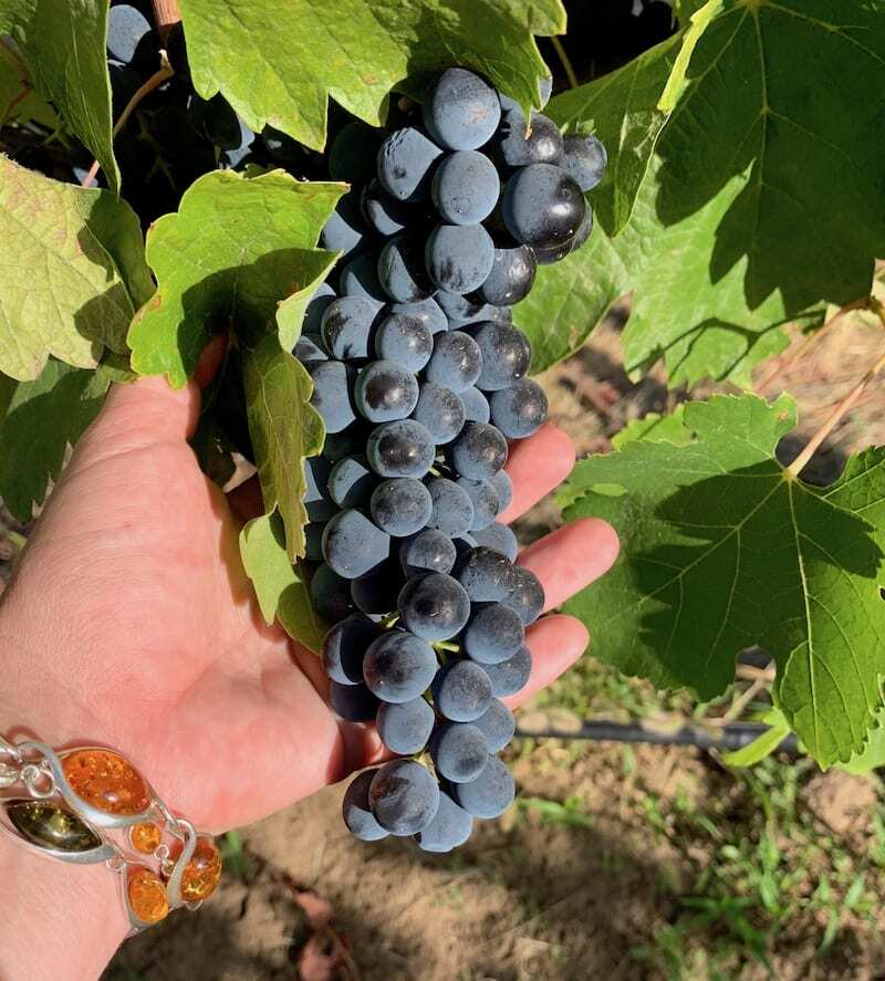 Syrah is one of the most awarded grape varitals in Walla Walla wine country